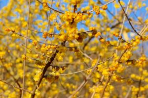 筑波山梅林公園は蝋梅(ろうばい)満開です。紅梅(こうばい)もほころび始めました。