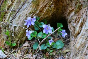 栃木百名山第73座花瓶山:イワウチワ・カタクリの群生と出会う山