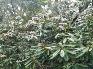 栃木百名山を楽しもう!:花の山④シャクナゲ咲く太郎山
