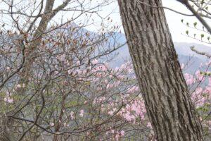 栃木百名山:アカヤシオ・ミツバツツジ満開の備前楯山